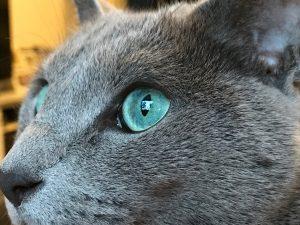 chat bleu russe yeux emeraudes